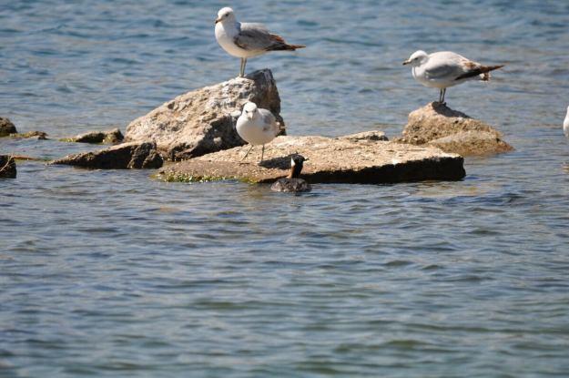 red-necked grebe, colonel samuel smith park, etobicoke, ontario, pic 6