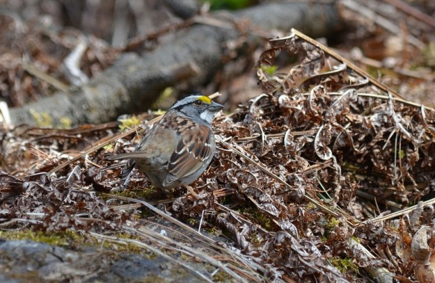 white-throated sparrow, ontario, pic 2