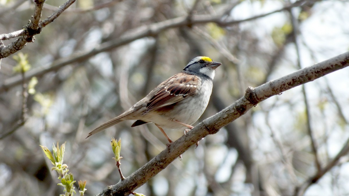 white throated sparrows in our toronto backyard