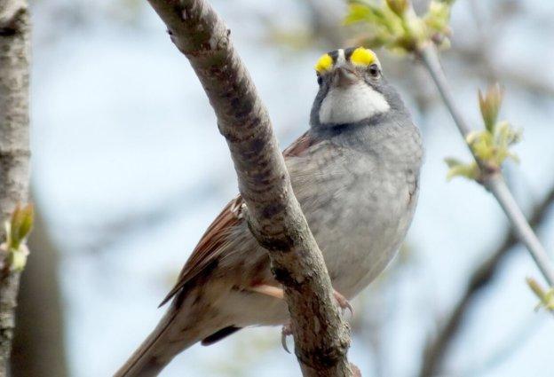 white-throated sparrow, ontario, pic 5