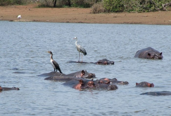 hippos in kruger national park, south africa
