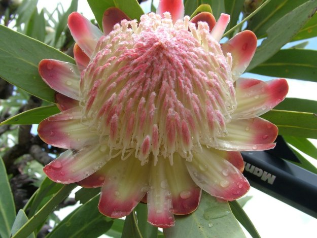 king protea, national flower of south africa