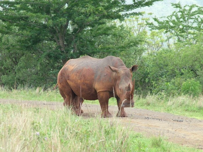 white rhino at hluhluwe imfolozi park, south africa