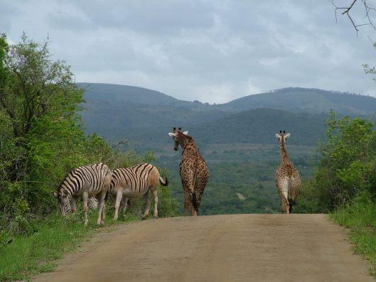 zebra and giraffe, south african