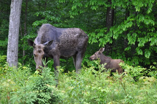 baby moose behind mother, algonquin park, ontario