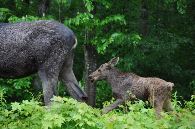 baby moose walks behind mother, algonquin park, ontario