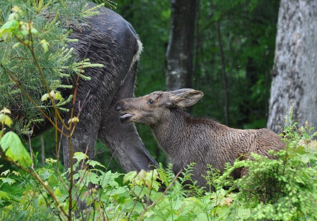 baby moose walks in rain, algonquin park, ontario