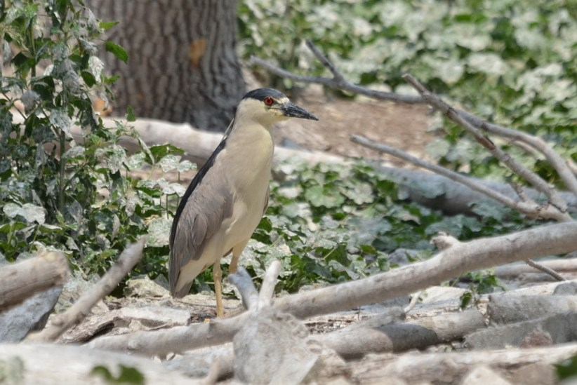 A Black-crowned Night Heron on the ground at Tommy Thompson Park in Toronto, Ontario, Canada