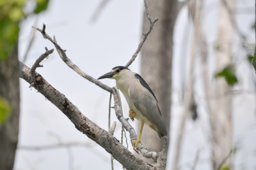 A Black-crowned Night Heron on a tree at Tommy Thompson Park in Toronto, Ontario, Canada