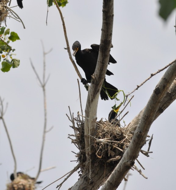 double-crested cormorant chick holds green plant in beak, tommy thompson park, toronto, pic 6