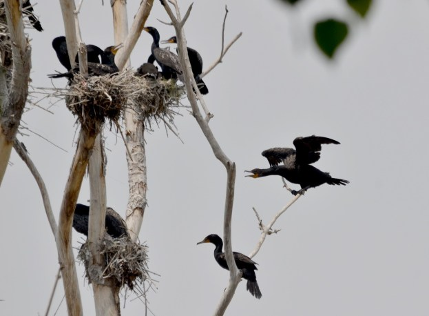 double-crested cormorants dance in trees at tommy thompson park, toronto