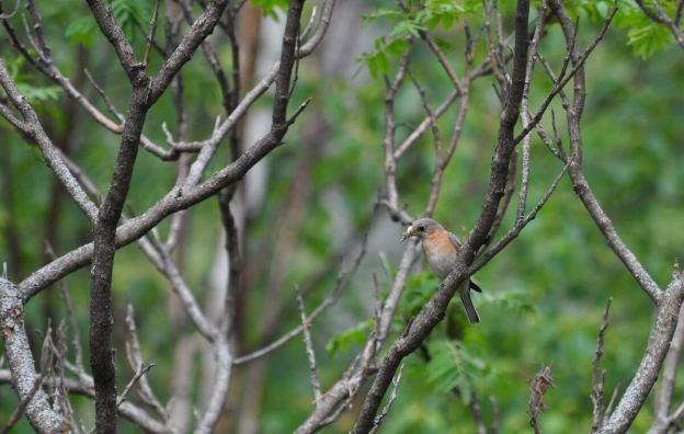 eastern bluebird female holding bugs at oxtongue lake, ontario
