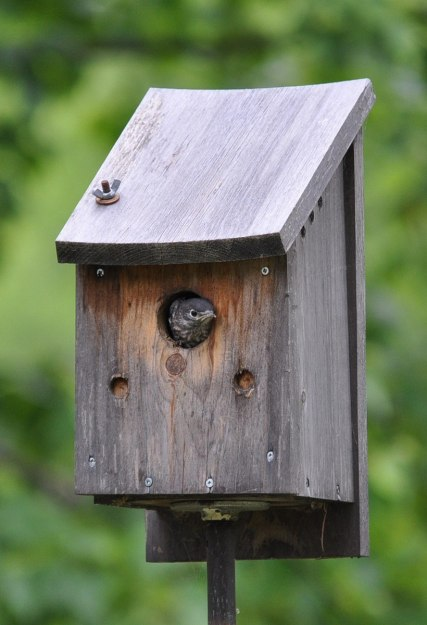 eastern bluebird fledgling exits nest, oxtongue lake, ontario