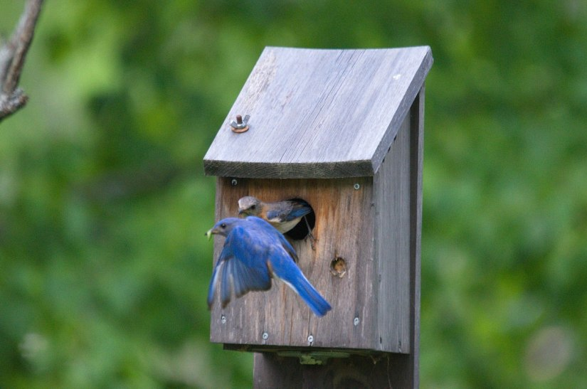 eastern bluebirds at oxtongue lake, ontario