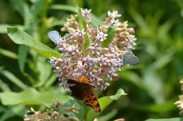 eastern comma butterfly, tommy thompson park, pic 4