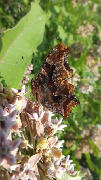 eastern comma butterfly, tommy thompson park, pic 8