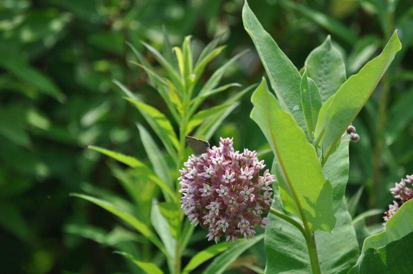 hickory hairstreak butterfly on a milkweed, tommy thompson park, toronto