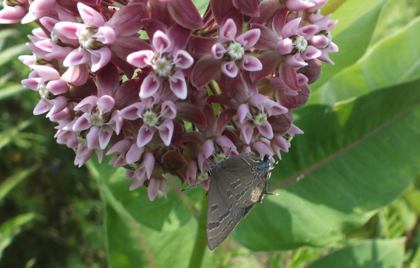 hickory hairstreak butterfly on bottom of a milkweed, tommy thompson park, toronto