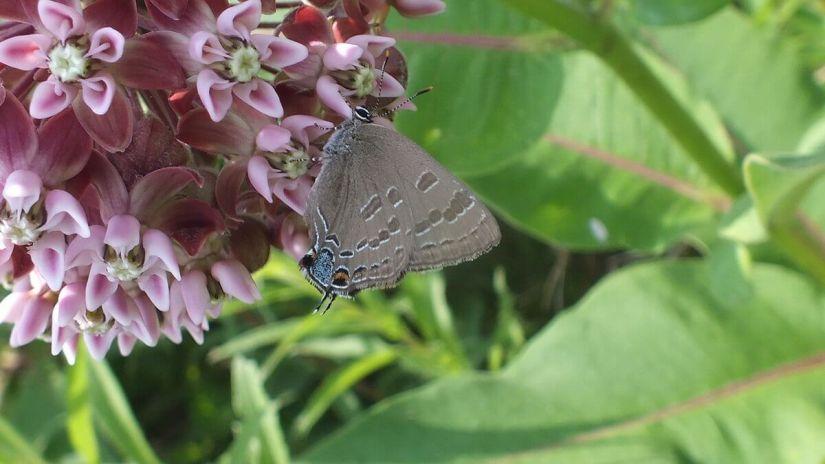 hickory hairstreak butterfly on milkweed flower, tommy thompson park, toronto