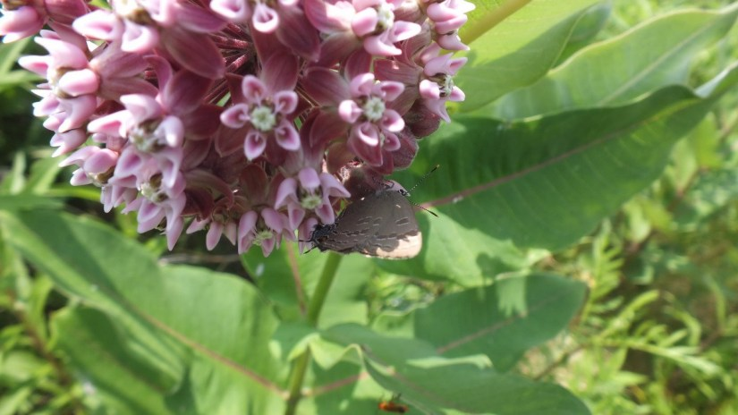 hickory hairstreak butterfly sitting on a milkweed, at tommy thompson park, toronto