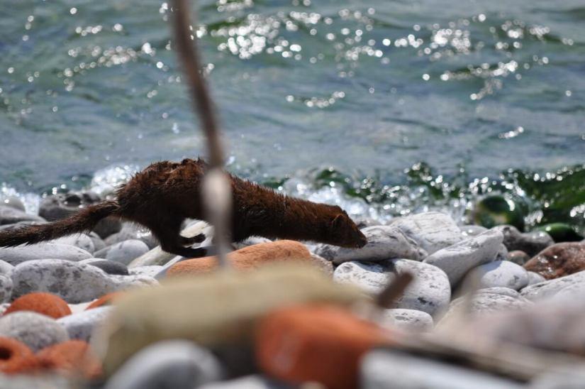mink along lake ontario in rouge national park, toronto, ontario, canada