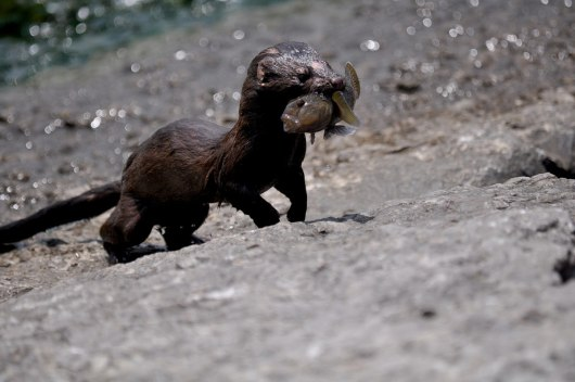 mink, lake ontario, rouge national park, toronto, 10