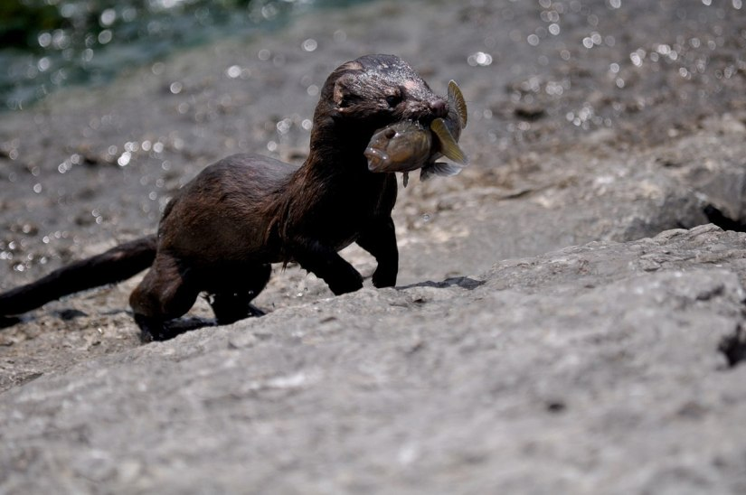 mink returning to nest with fish along lake ontario shoreline in rouge national park, toronto, ontario, canada
