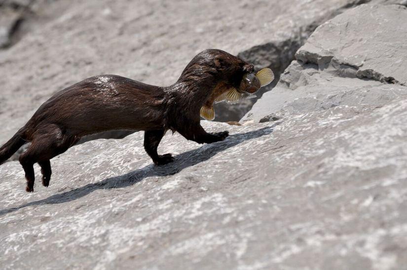 mink, lake ontario, rouge national park, toronto, 11
