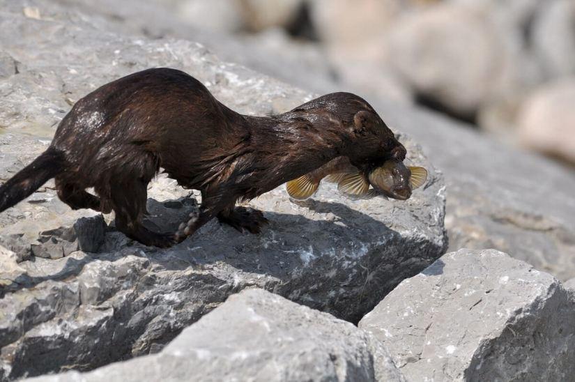 mink, lake ontario, rouge national park, toronto, 14