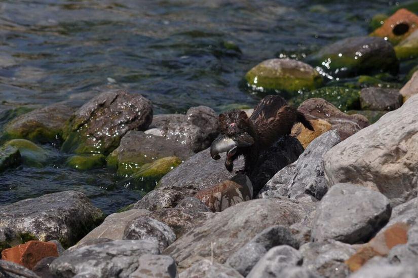 mink, lake ontario, rouge national park, toronto, 16