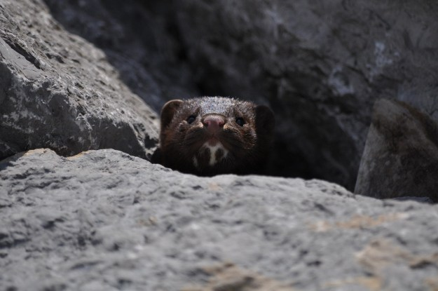 mink, lake ontario, rouge national park, toronto, 17