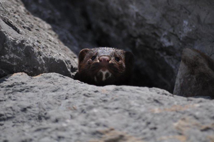 mink, lake ontario, rouge national park, toronto, 17