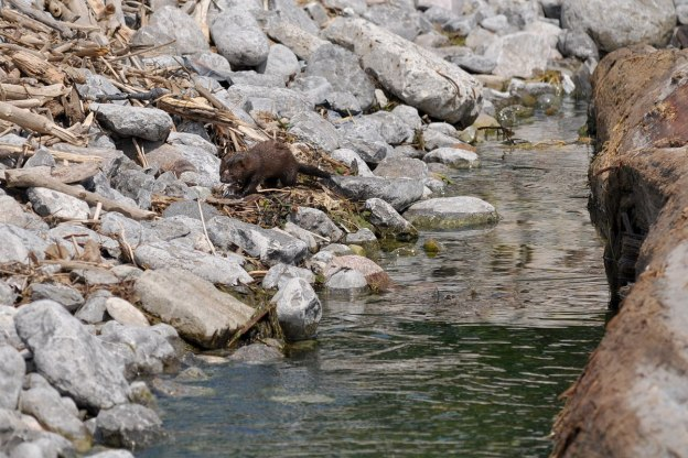 mink, lake ontario, rouge national park, toronto, 6
