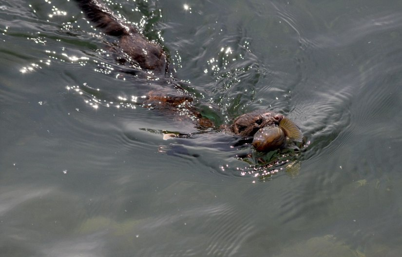 mink swimming with a fish in lake ontario, rouge national park, toronto, ontario, canada