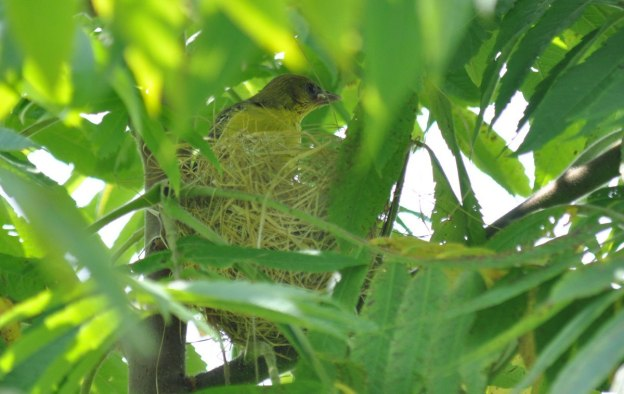 orchard oriole, baby, ajax, ontario, pic 4