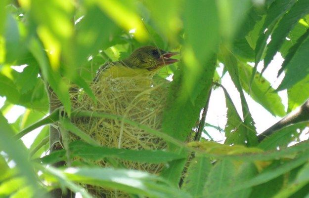 orchard oriole, baby, ajax, ontario, pic 5