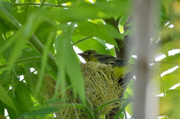 orchard oriole, baby, ajax, ontario, pic 7