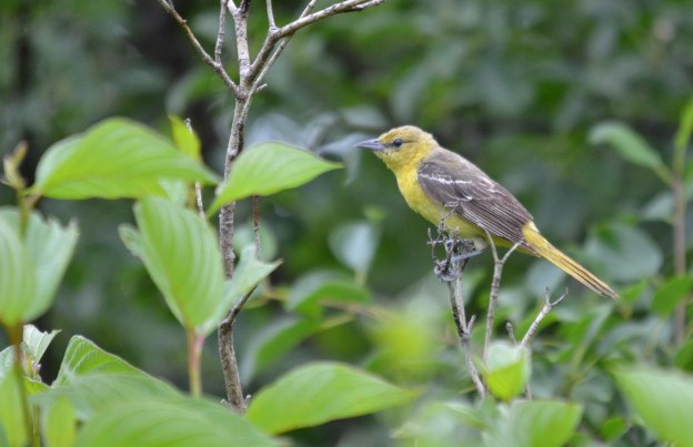 orchard oriole, female, ajax, ontario, pic 3