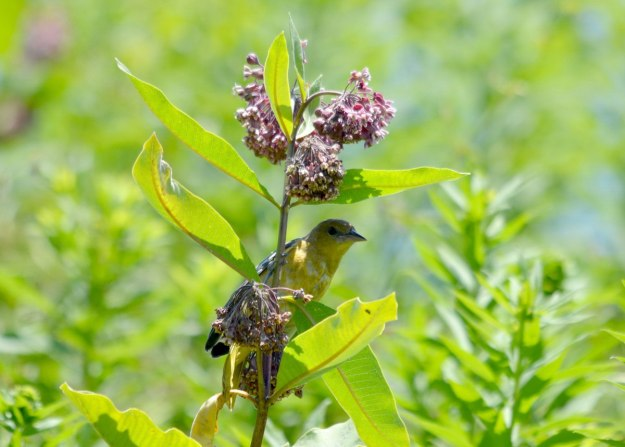 Female Orchard oriole sitting on a milkweed plant in Ajax, Ontario, Canada