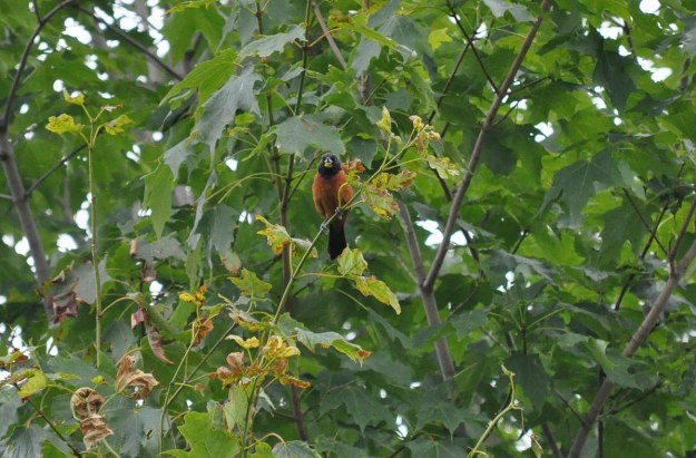 Orchard Oriole, male, sitting in a tree in Ajax, Ontario, Canada