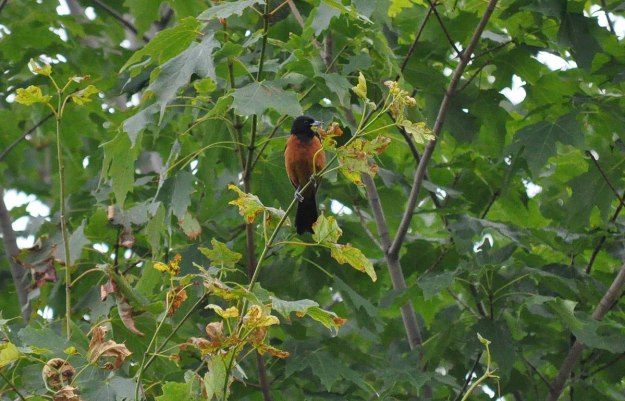 orchard oriole, male, ajax, ontario, pic 3