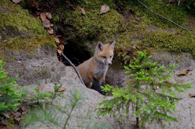 red fox kit, algonquin provincial park, ontario june 1, 2015