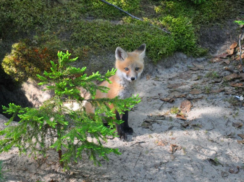 red fox kit, algonquin park, ontario, pic 2