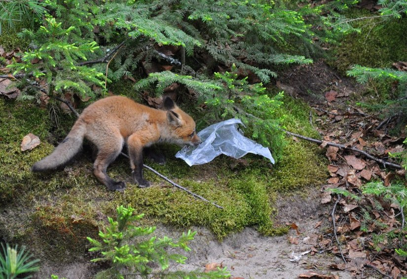 red fox kit with plastic bag, algonquin provincial park, ontario