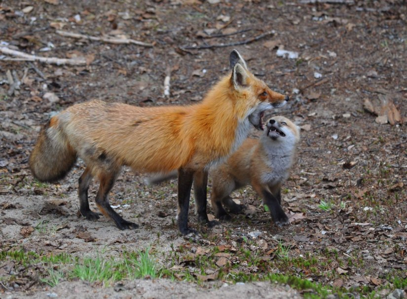 red fox female and kit, algonquin provincial park, ontario