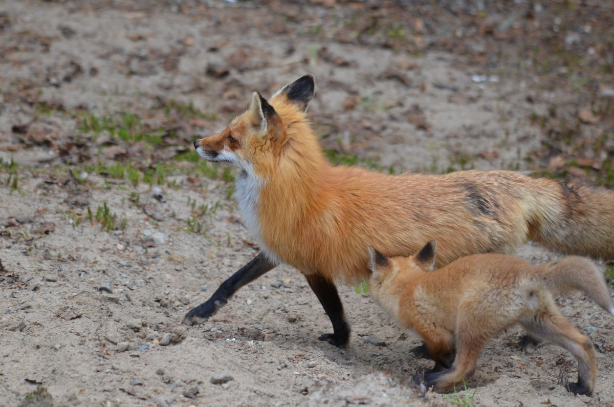 red fox kits with their mother in algonquin park
