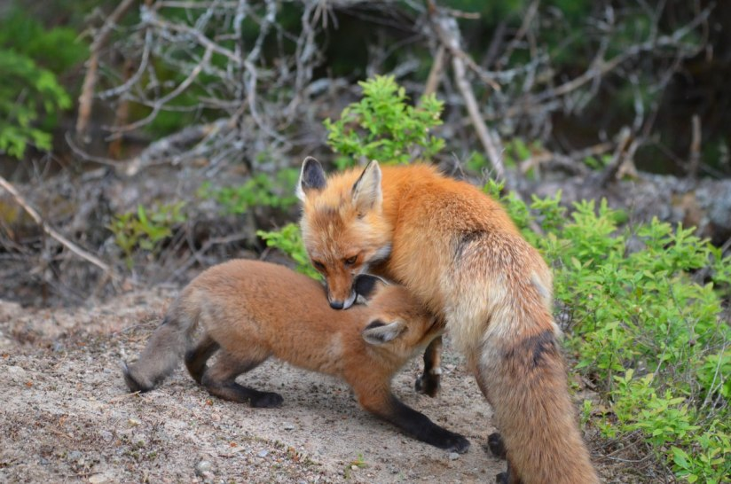 red fox mom feeds kit, algonquin park, ontario, pic 2