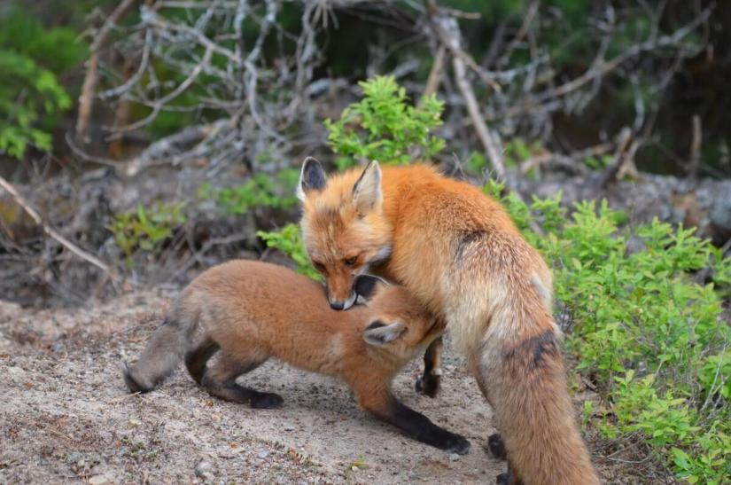 red fox mom feeds kit, algonquin provincial park, ontario
