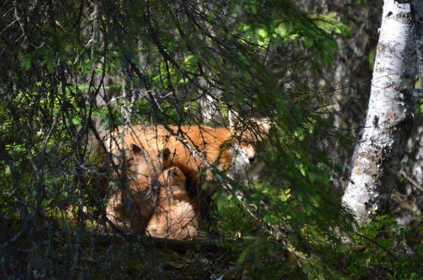 red fox kits nursing, algonquin provincial park, ontario