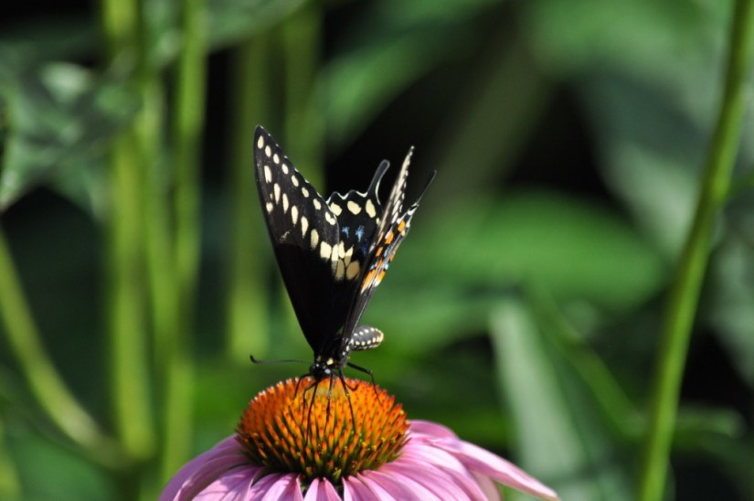 Close up of a Black Swallowtail Butterfly on a flowerhead in Toronto, Ontario